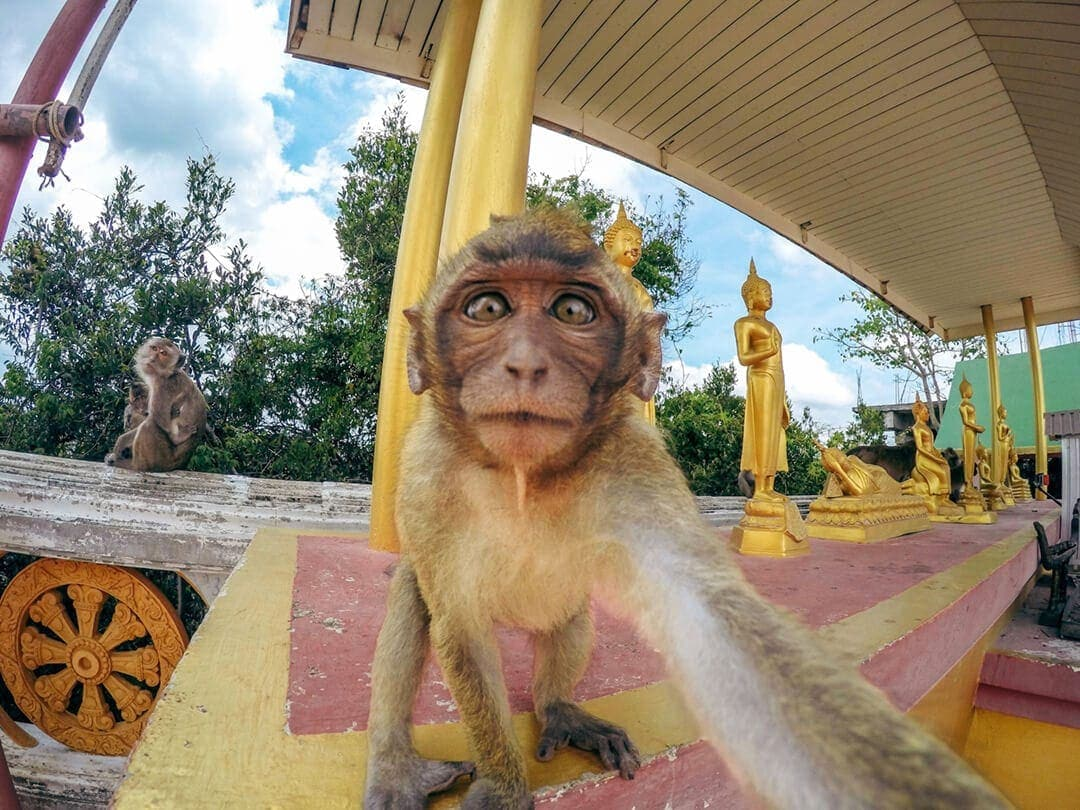Monkey selfie gopro tiger cave temple