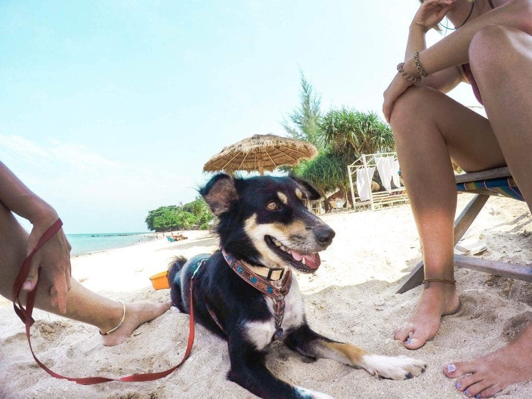 koh lanta animal wel fare dog beach