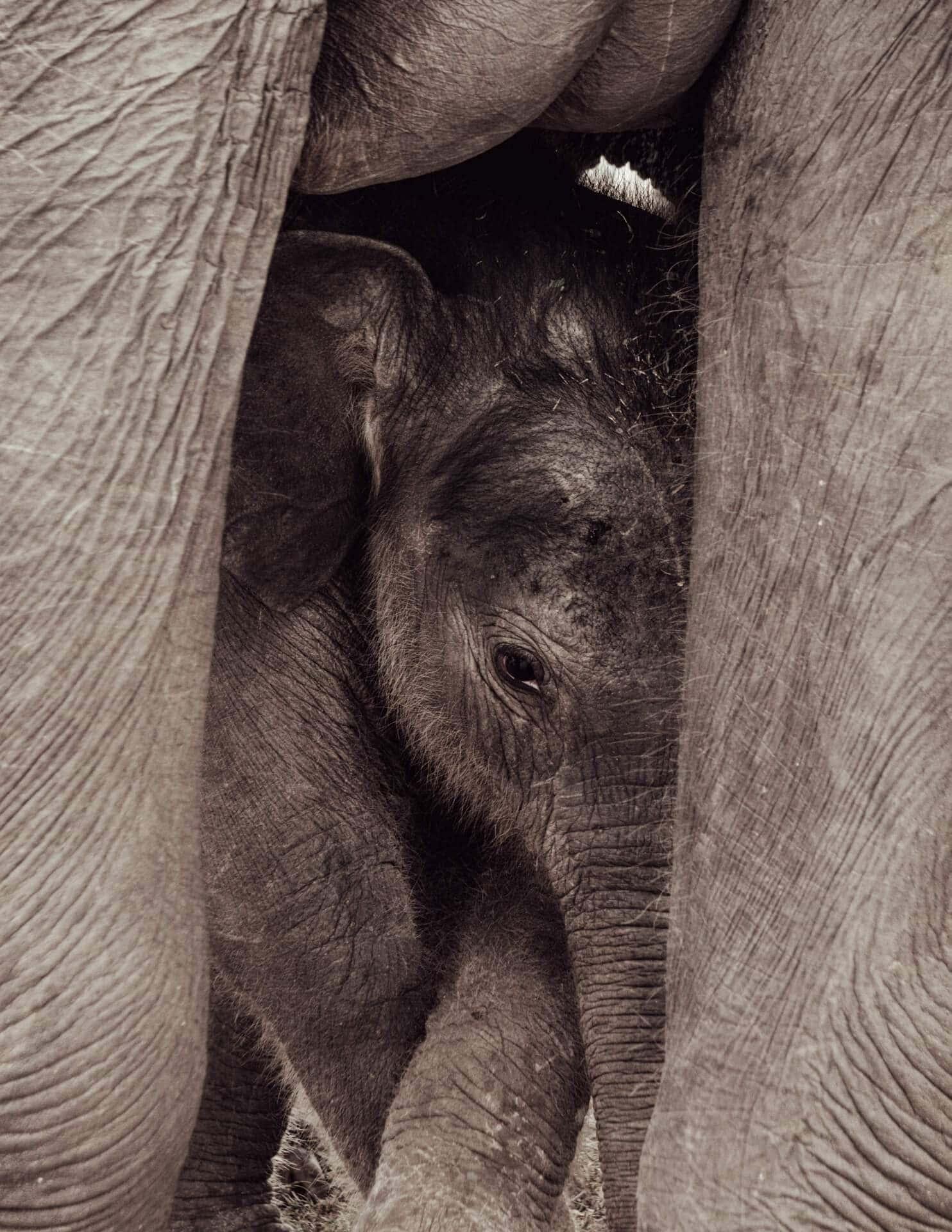 kaudulla national park sri lanka baby elephant