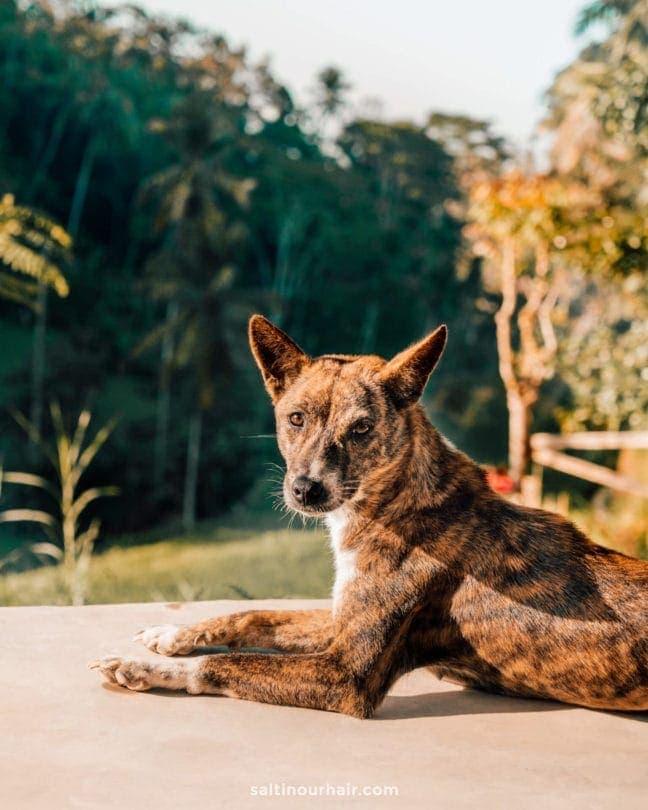 tegalalang dog