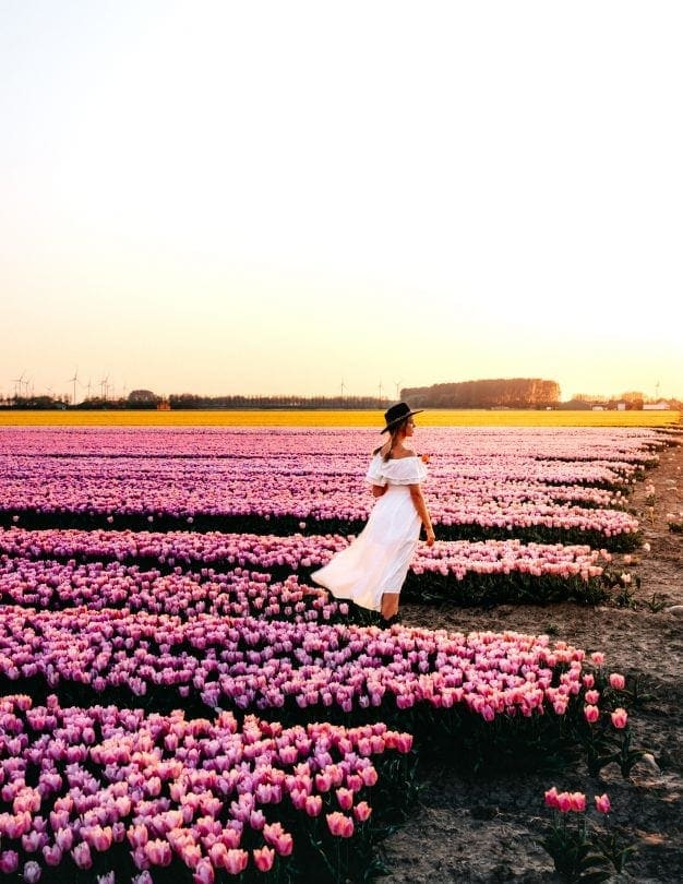 tulip fields holland free